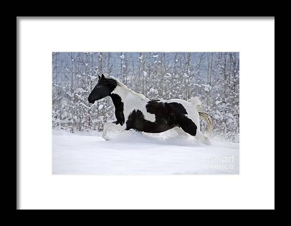 Black And White Paint Horse In Snow Framed Print by Rolf Kopfle
