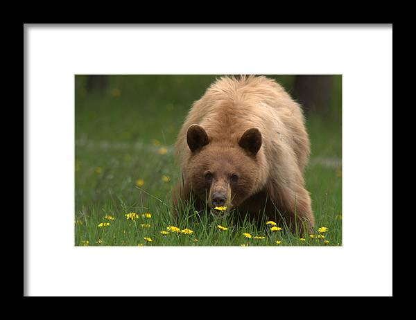 Bear Framed Print featuring the photograph Black Bear by Frank Madia