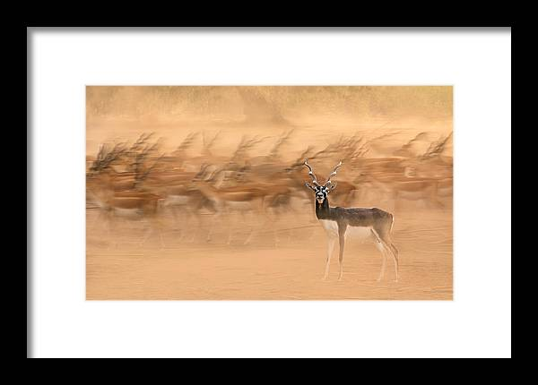 Migration Framed Print featuring the photograph Black Bucks by Sayyed Nayyer Reza