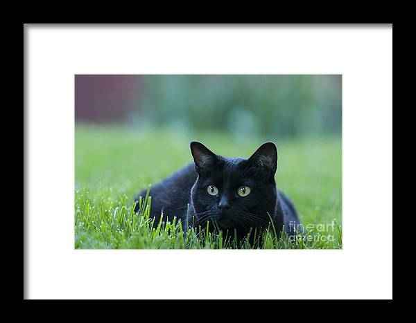 Animal Framed Print featuring the photograph Black Cat by Juli Scalzi