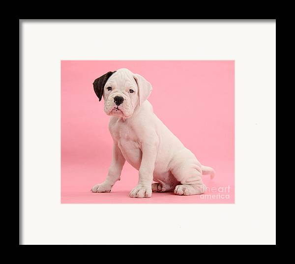 Nature Framed Print featuring the photograph Black Eared White Boxer Puppy by Mark Taylor