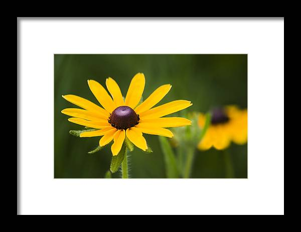 3scape Photos Framed Print featuring the photograph Black Eyed Susan by Adam Romanowicz