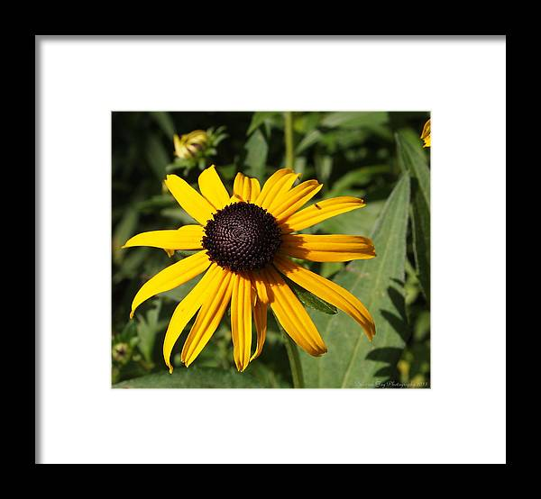 Black Eyed Susans On Canvas Framed Print featuring the photograph Black Eyed Susan by Deborah Fay
