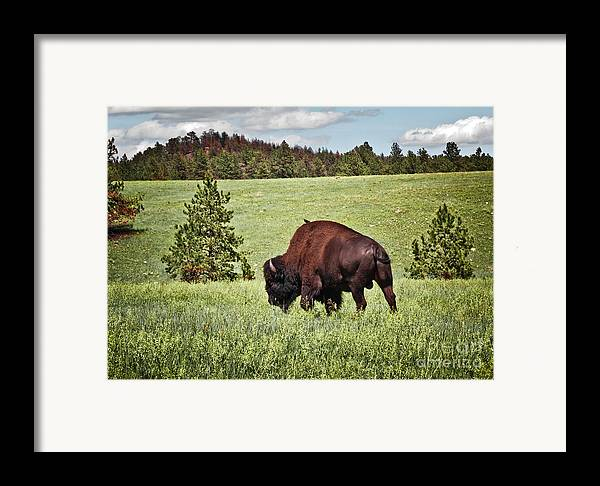 Wildlife Framed Print featuring the photograph Black Hills Bull Bison by Robert Frederick
