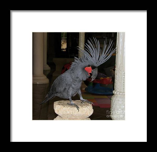 Black Framed Print featuring the photograph Black Palm Cockatoo by Sergey Lukashin