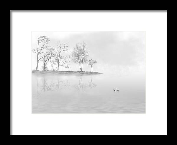 White Framed Print featuring the photograph Black Swans Swimming In A Lake by Bijan Studio