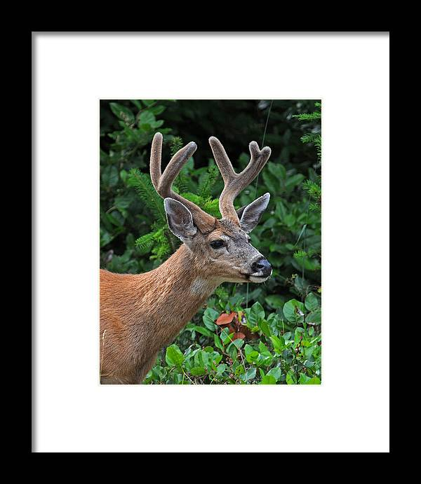 Black Tailed Buck In Velvet Greeting Cards Framed Prints Art Prints Canvas Prints Acrylic Prints Photograph Prints Metal Prints Framed Print featuring the photograph Black Tailed Buck In Velvet by Jlt Photography