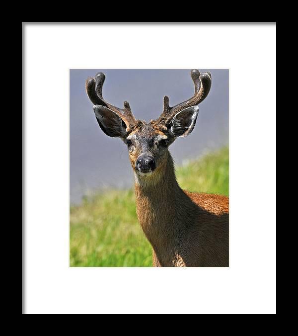 Male Black Tailed Deer Framed Prints Art Prints Photograph Prints Greeting Cards Canvas Prints Acrylic Prints Framed Print featuring the photograph Black Tailed Deer by Jlt Photography