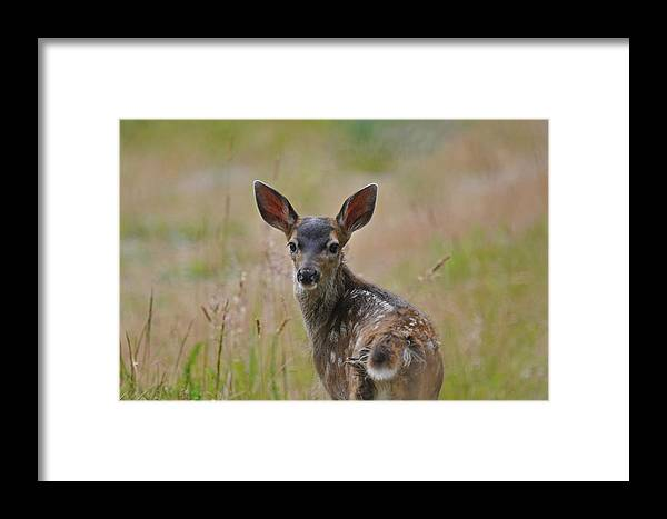 Black Tailed Fawn Framed Prints Greeting Cards Canvas Prints Art Prints Photograph Prints Acrylic Prints Metal Prints Framed Print featuring the photograph Black Tailed Fawn by Jlt Photography