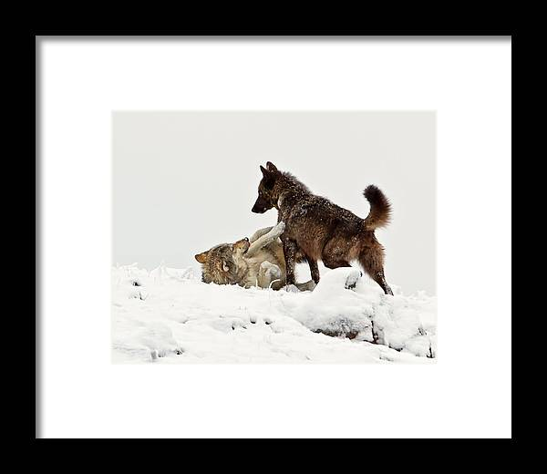 Wolf Framed Print featuring the photograph Black Wolf Wrestling Gray Wolf by James Futterer