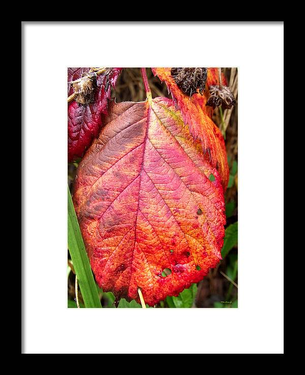 Duane Mccullough Framed Print featuring the photograph Blackberry Leaf In The Fall 3 by Duane McCullough
