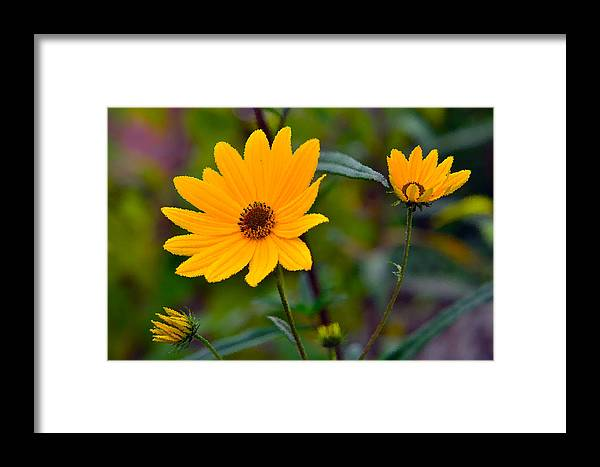 Flowers Framed Print featuring the photograph Blackeyed Susies by Cindy Whitehead