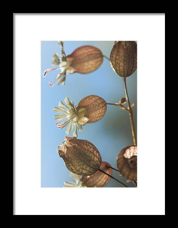 Bladder Campion Framed Print featuring the photograph Bladder Camion by Rebeka Dove
