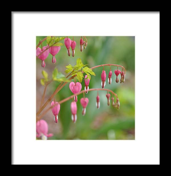 Flowers Framed Print featuring the photograph Bleeding Hearts by Kerry Hauser