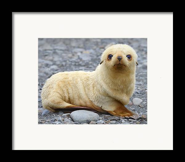 Antarctic Fur Seal Framed Print featuring the photograph Blondie by Tony Beck