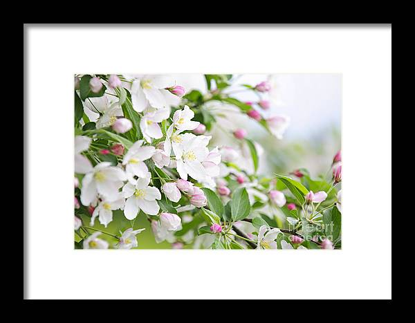Apple Framed Print featuring the photograph Blooming Apple Tree by Elena Elisseeva