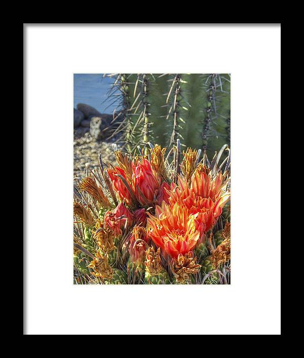 Arizona Framed Print featuring the photograph Blooming Barrel by Ryan Seek