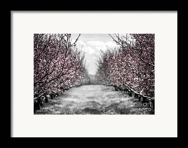 Peach Framed Print featuring the photograph Blooming Peach Orchard by Elena Elisseeva