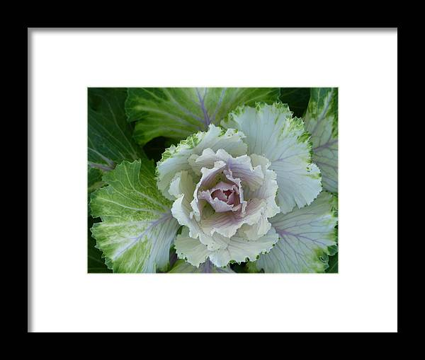Ornamental Cabbage Plants Framed Print featuring the photograph Blossom by MyRoogle