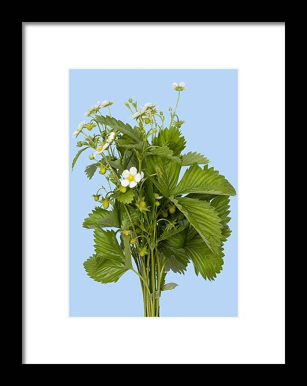 Strawberries Framed Print featuring the photograph Blossom Strawberries On Cyan by Aleksandr Volkov