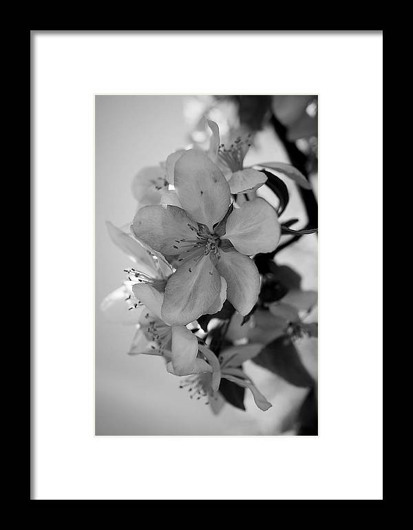 Blossoms 2013 Monochrome Framed Print featuring the photograph Blossoms 2013 Monochrome by Beth Akerman