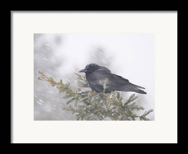 Crow  Wind  Snowstorm Framed Print featuring the photograph Blowin' In The Wind - Crow by Sandra Updyke