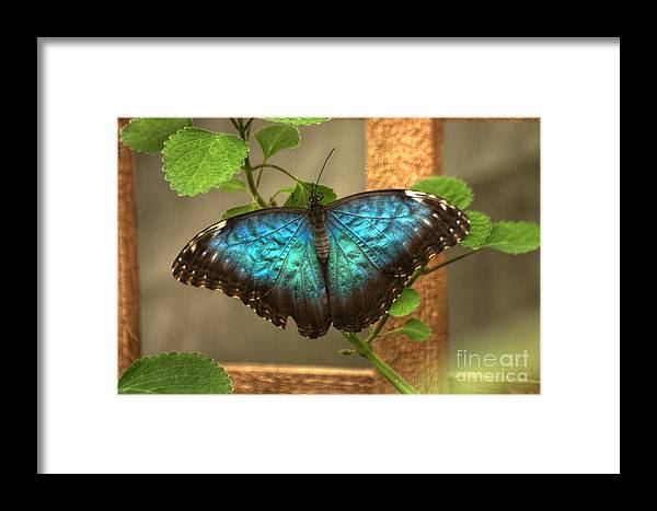 Butterfly Framed Print featuring the photograph Blue And Black Butterfly by Jeremy Hayden