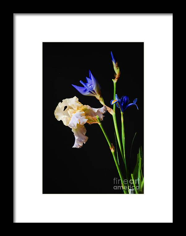 Flowers Framed Print featuring the photograph Blue And White Iris' by Nancy Bradley