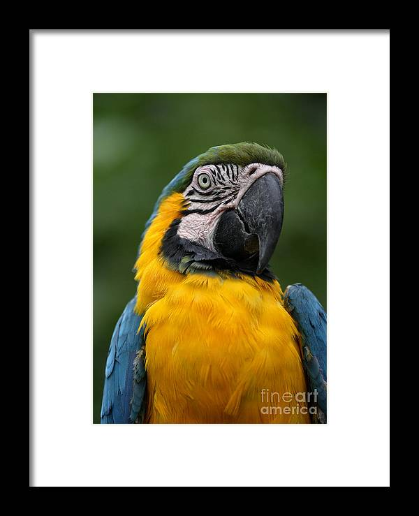 Parrot Framed Print featuring the photograph Blue And Yellow Macaw by Rosemary Calvert