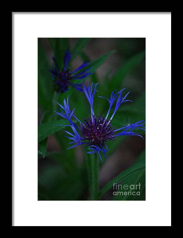 Flower Framed Print featuring the photograph Blue Bachelor Button by Mark McReynolds