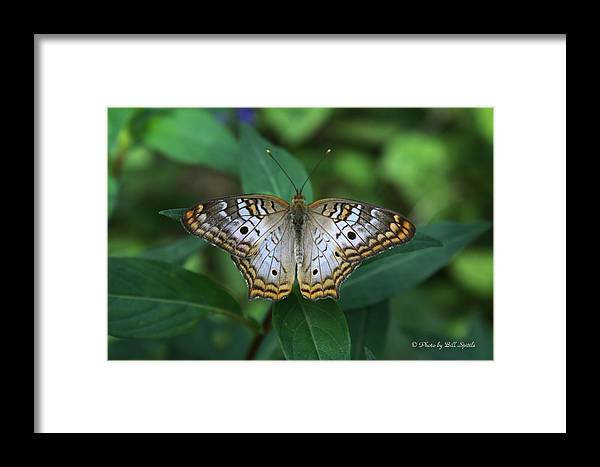 Butterfly Framed Print featuring the photograph Blue Butterfly by Bill Spittle