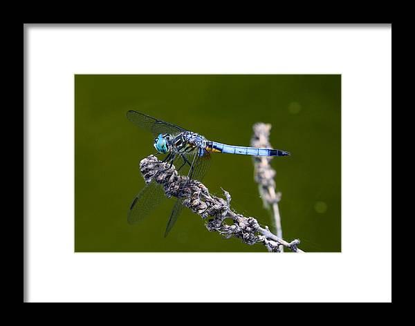 Blue Darter Framed Print featuring the photograph Blue Darter by Kathryn Meyer