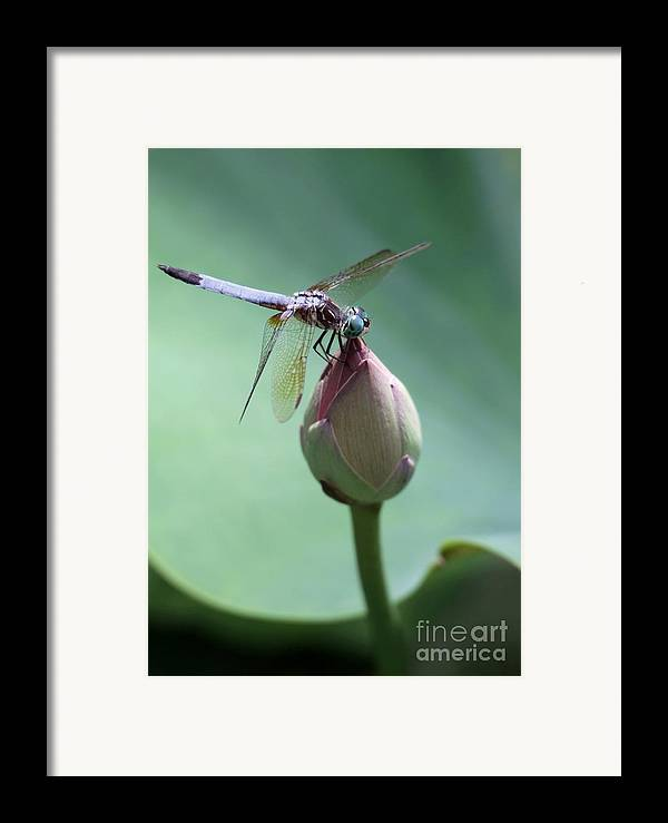 Dragonfly Framed Print featuring the photograph Blue Dragonflies Love Lotus Buds by Sabrina L Ryan
