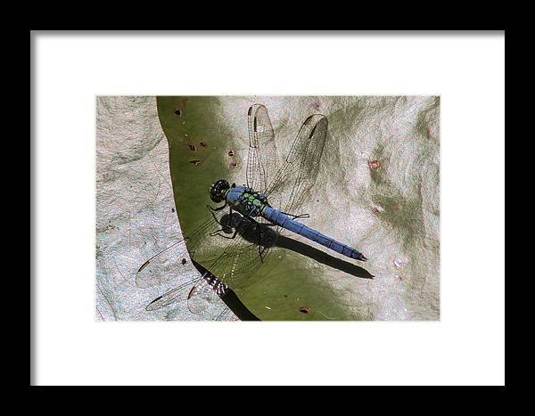 Dragonfly Framed Print featuring the photograph Blue Dragonfly by Janet Mcconnell