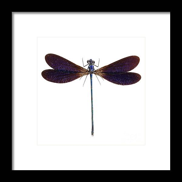 Indonesia Framed Print featuring the photograph Blue Dragonfly Species Vestalis Luctuosa by Pablo Romero