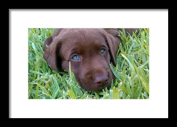 Brown Labrador Framed Print featuring the photograph Blue Eyes Dreaming by Annette Palmer