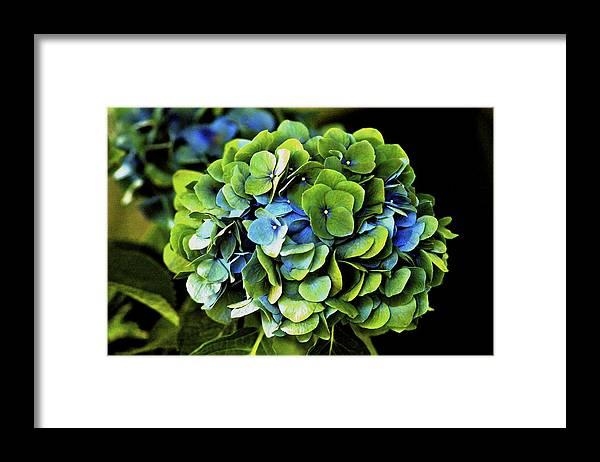Hawaii Framed Print featuring the photograph Blue Green Hydrangea by Lehua Pekelo-Stearns