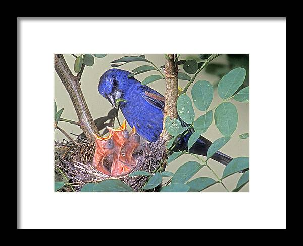 Animal Behavior Framed Print featuring the photograph Blue Grosbeak Guiraca Caerulea by G Ronald Austing