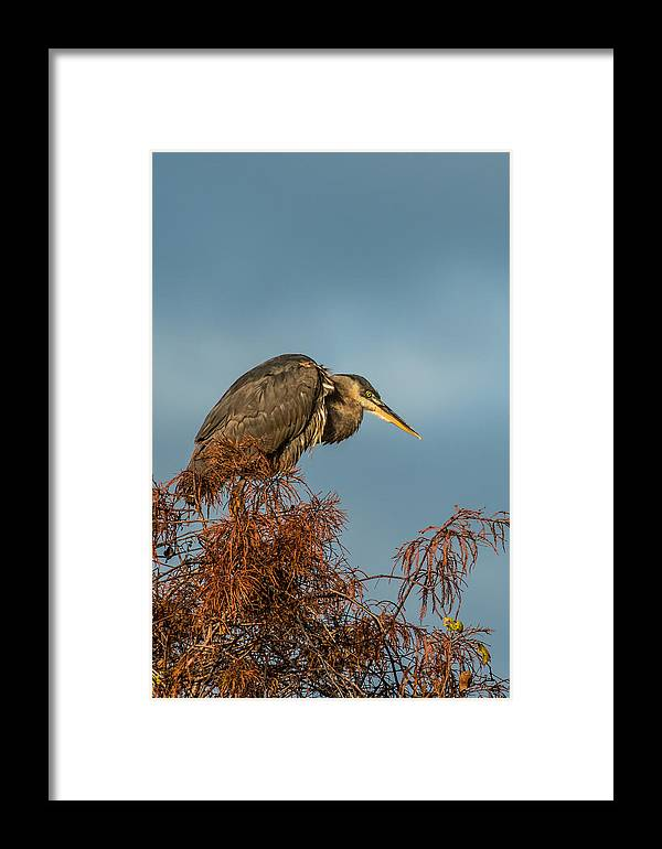 December 2013 Framed Print featuring the photograph Blue Heron by Howard Hackney