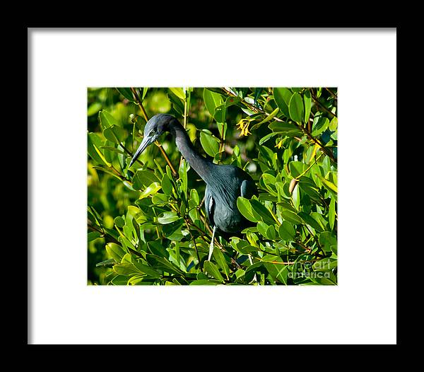 Tarpon Springs Framed Print featuring the photograph Blue Heron In Mangroves by Stephen Whalen