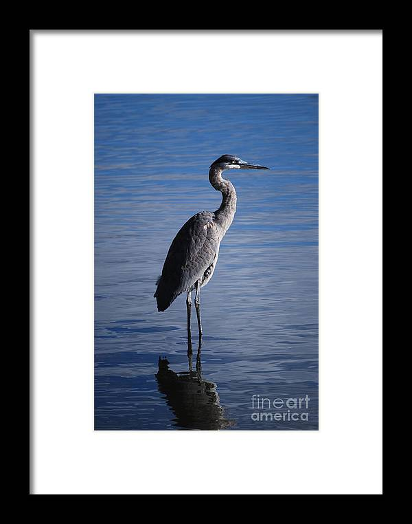 Designs Framed Print featuring the photograph Blue Heron by Joy Bradley