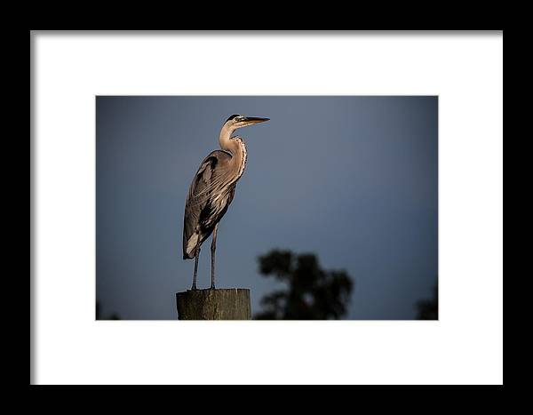 Framed Print featuring the photograph Blue Heron by Ron Maxie