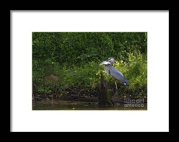 Bird Framed Print featuring the photograph Blue Heron With A Fish-signed by J L Woody Wooden