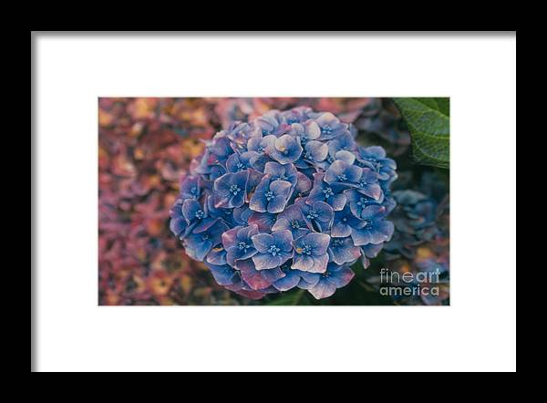 Hydrangea Framed Print featuring the photograph Blue Hydrangea by Heather Kirk