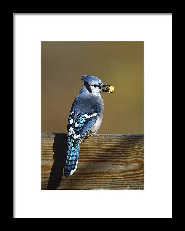 Feb0514 Framed Print featuring the photograph Blue Jay Carrying Peanut Long Island by Tom Vezo