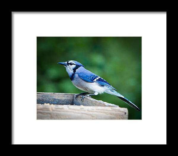Blue Framed Print featuring the photograph Blue Jay In Backyard Feeder by Jiayin Ma