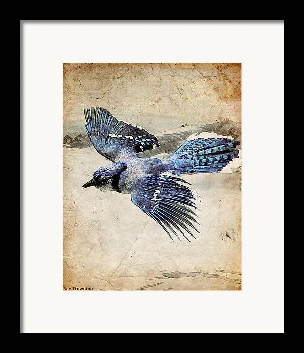 Blue Jay Framed Print featuring the digital art Blue Jay In Flight by Ray Downing