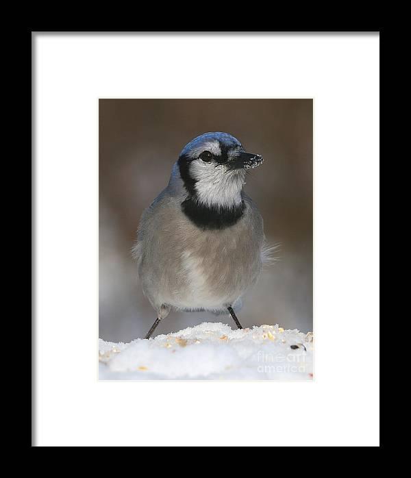 Bird Framed Print featuring the photograph Blue Jay by Ken Keener
