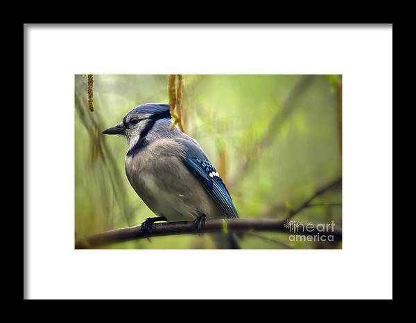 Bird Framed Print featuring the photograph Blue Jay On A Misty Spring Day by Lois Bryan