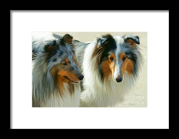 Dogs Framed Print featuring the photograph Blue Merle Shelties by Carolyn Krek